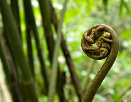 Close-up of a fiddlehead fern in the rainforest of Tahiti.